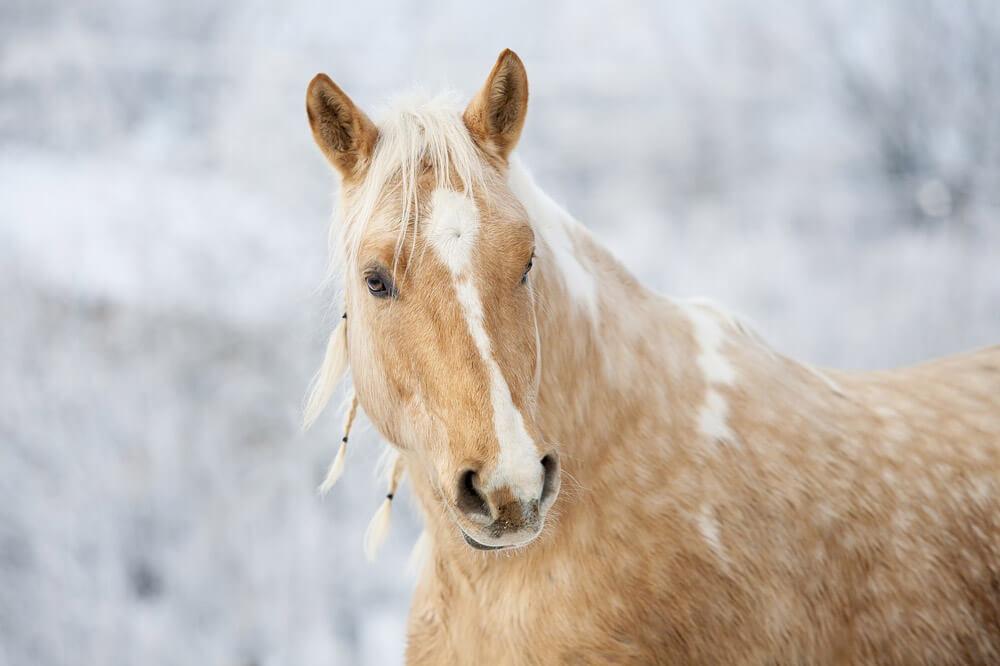 buckskin horse close up