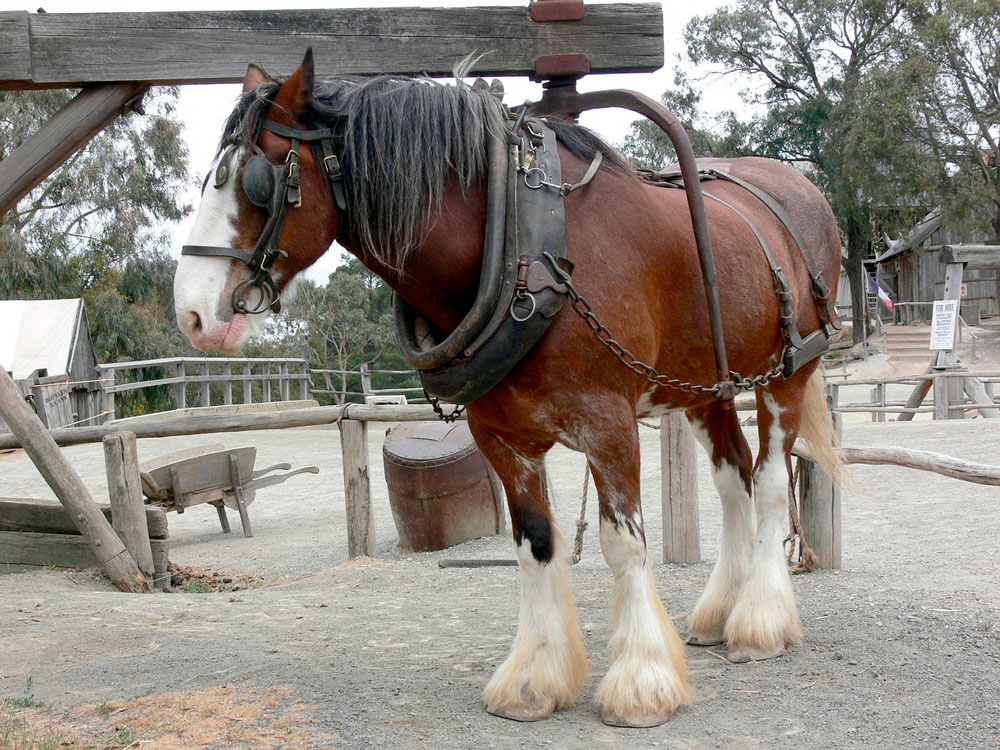 chestnut Shire Horse harness