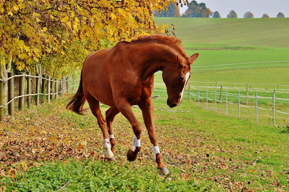 chestnut horse is running around