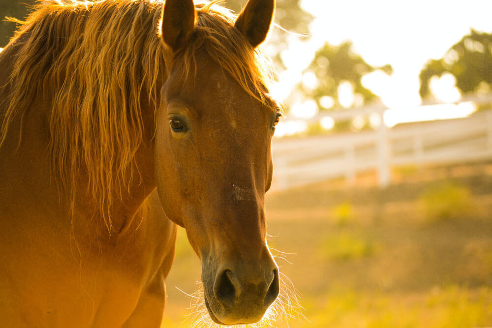 chestnut horse is standing at sunset