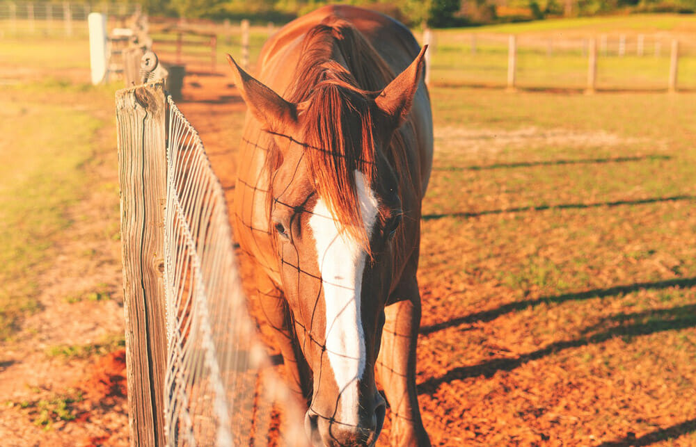 chestnut horse is walking along the fence