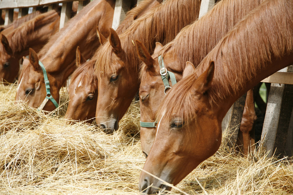 chestnut horses are grazing hay