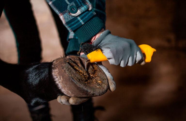 cleaning hoof with hoof pick