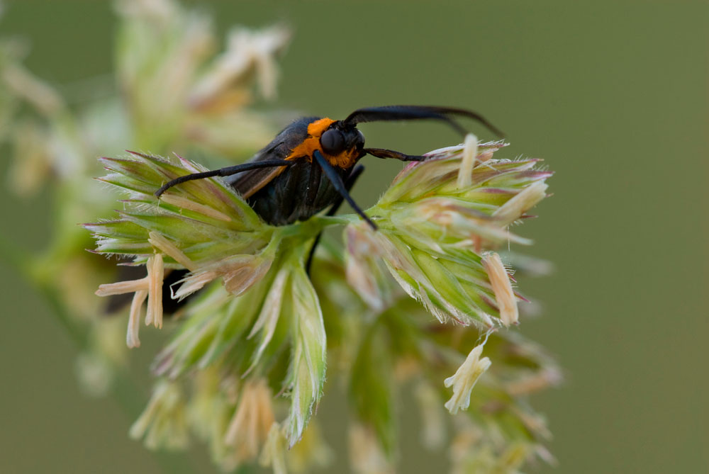 close view of an insect on orchardgrass