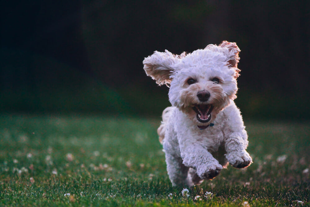 cockapoo is having fun at the park