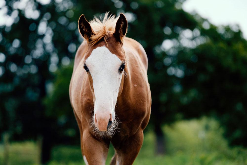 colt horse portrait with bald face