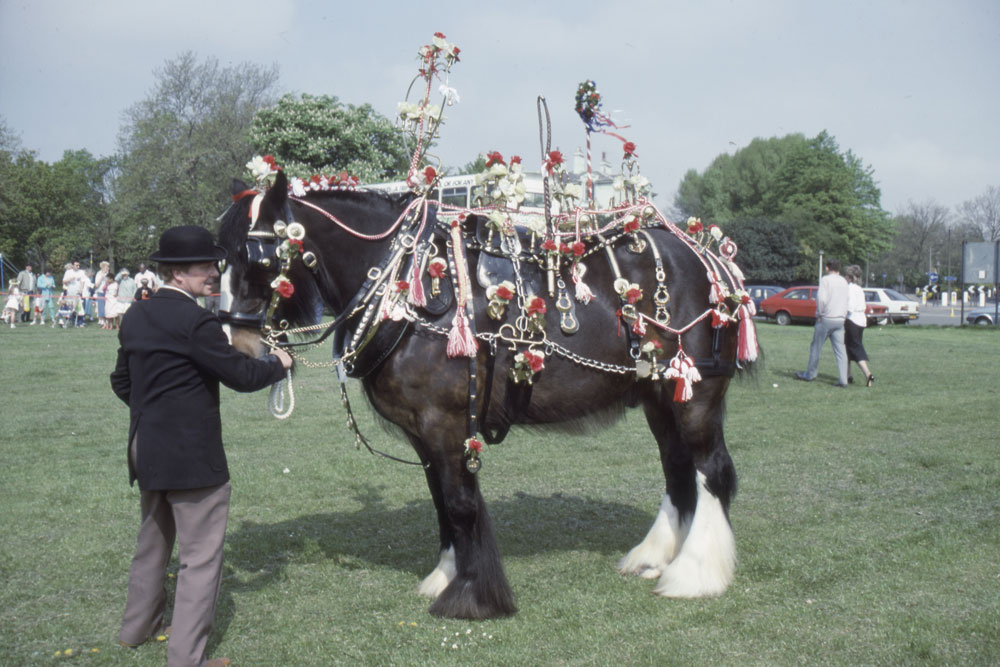 dressed Shire Horse on horse show
