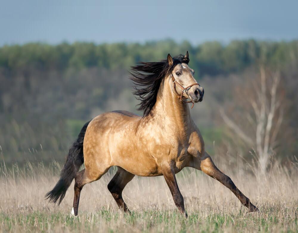 dun horse coat color
