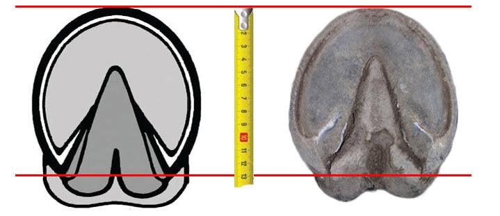 equine jogging shoe measure length