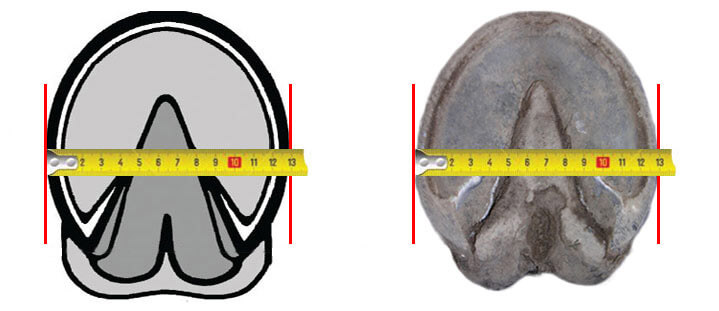 equine jogging shoe measure width