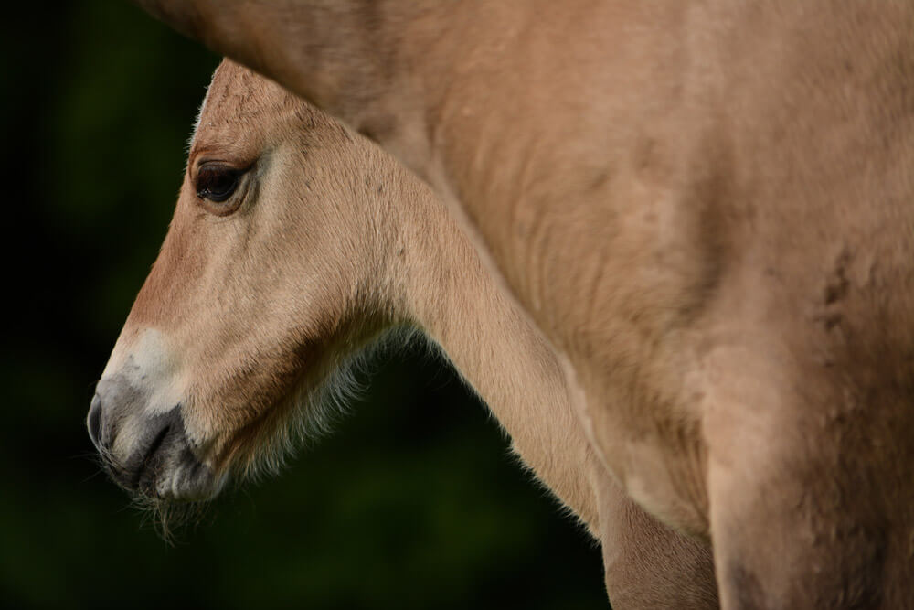foal face close up