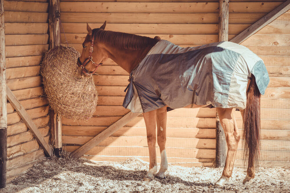 gelding horse in halter and blanket