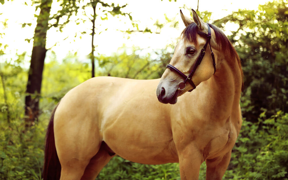golden quarter horse close up