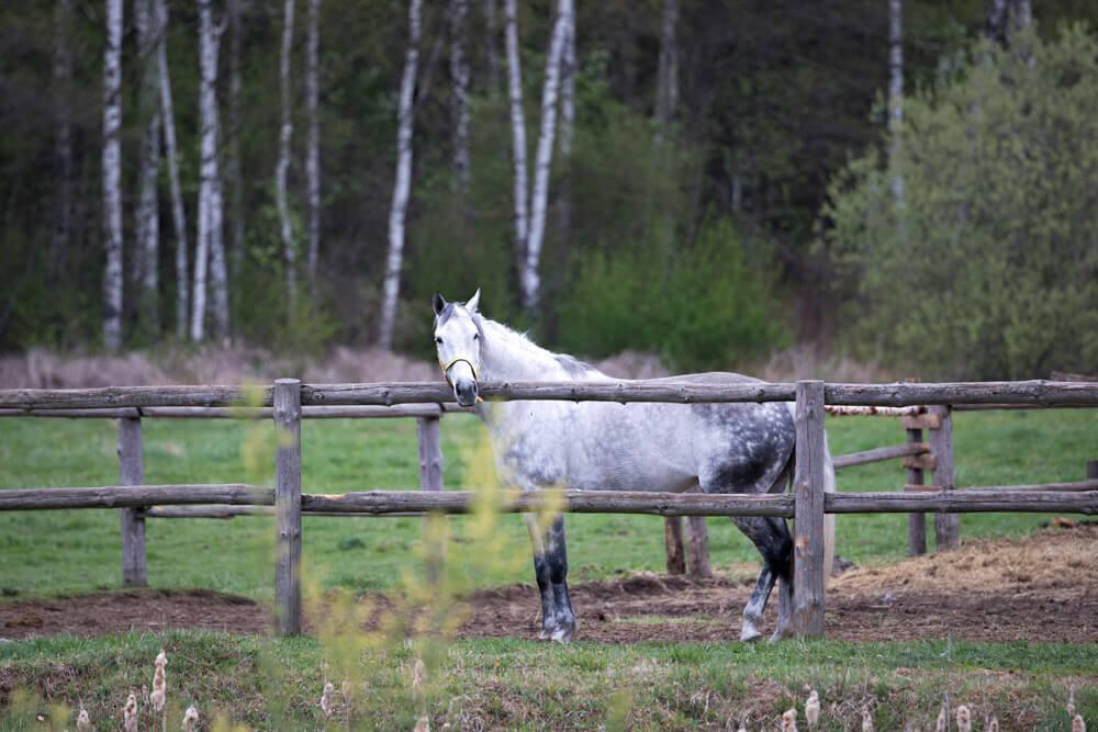 gray horse coat color