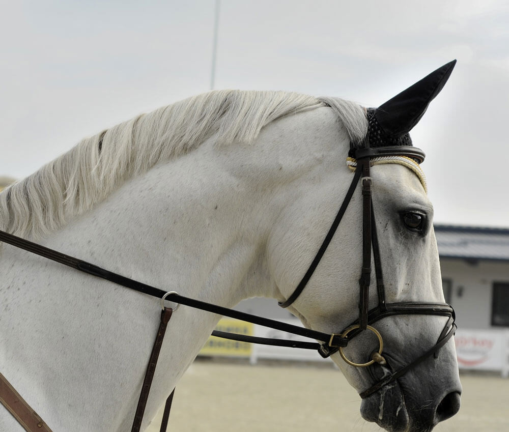 gray horse is wearing a bridle