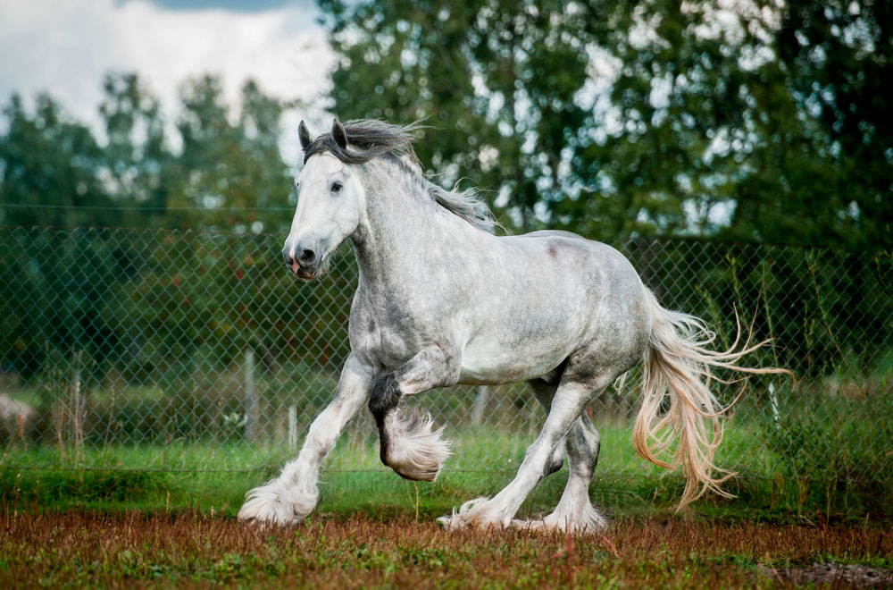 great Shire Horse running