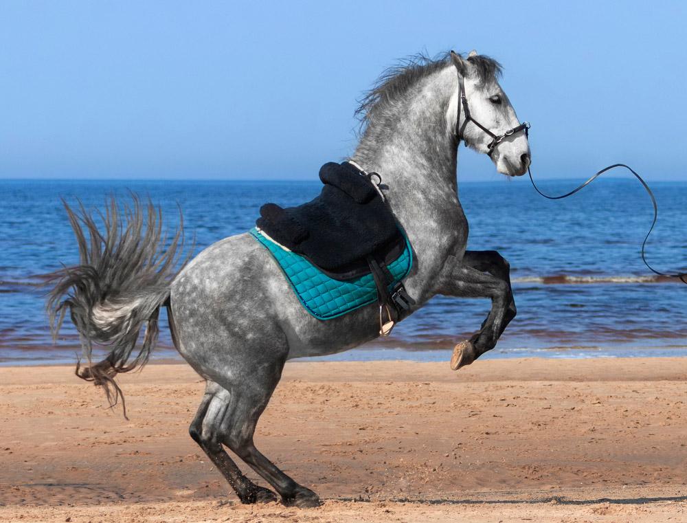 grey horse wearing treeless addle