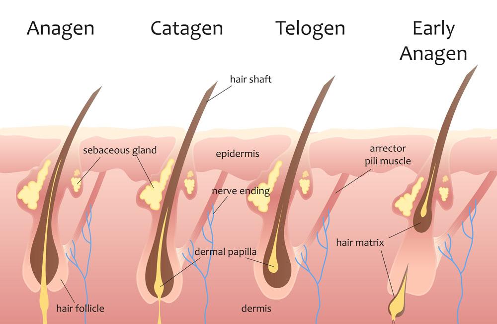 hair growth cycle chart