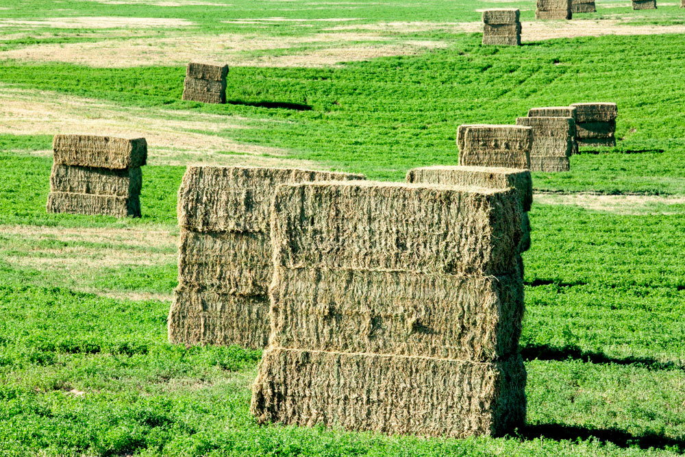 hay square bales made from alfalfa