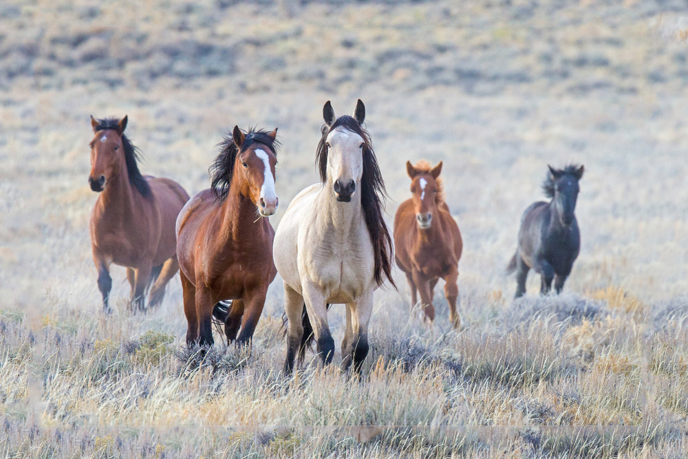 herd of Mustang Horses approaching