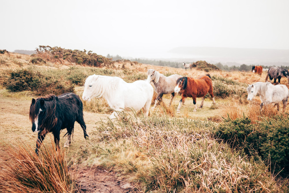 herd of ponies are walking around