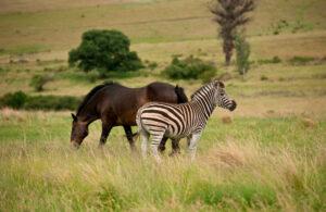 horse and zebra grazing around