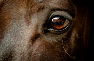 horse brown eye close up