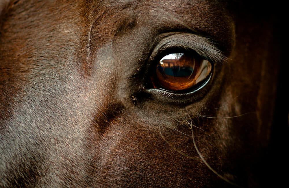 horse brown eye close up
