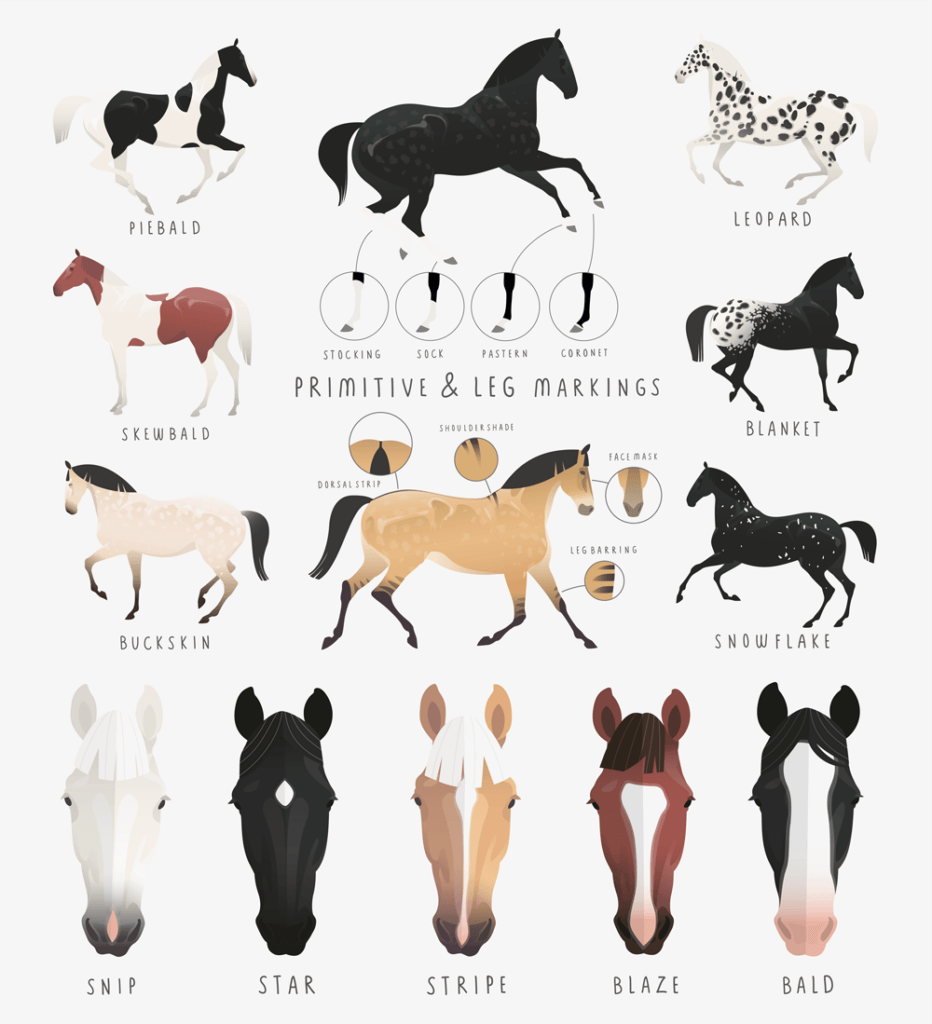 horse color and markings chart