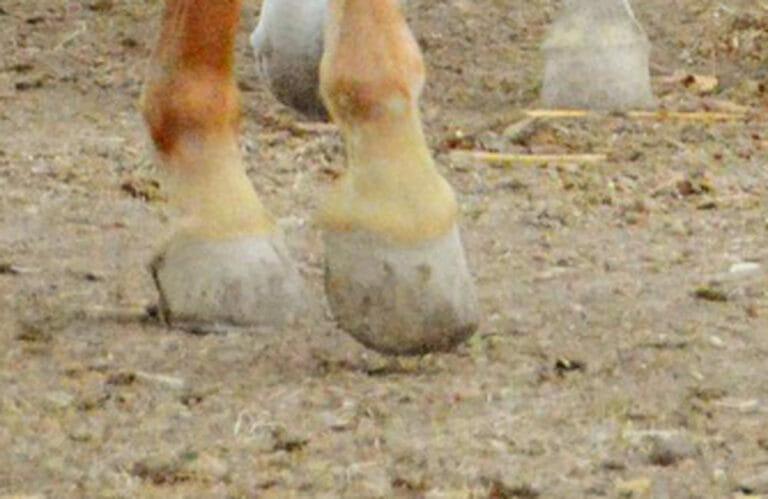 horse coronet