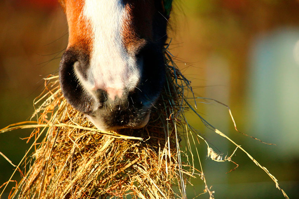 horse eating hay close up