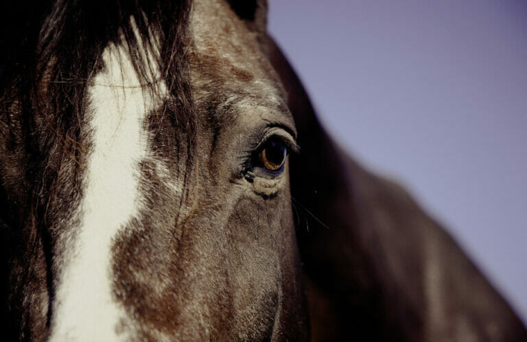 horse forehead