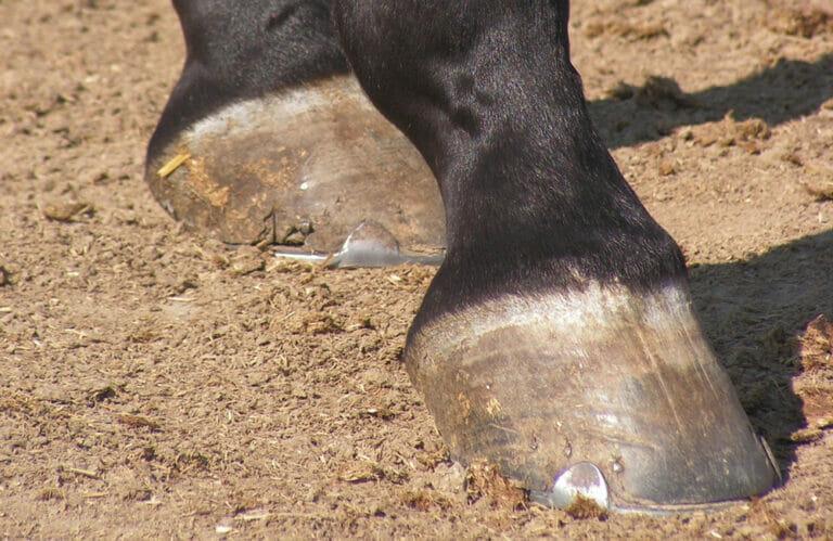 horse heel