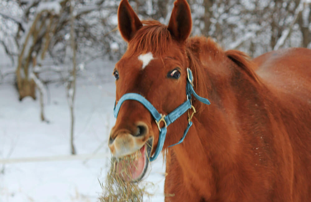 horse is chewing hay on snow