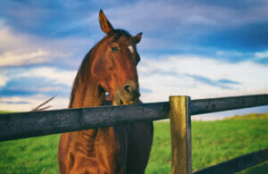 horse is chewing wooden fence