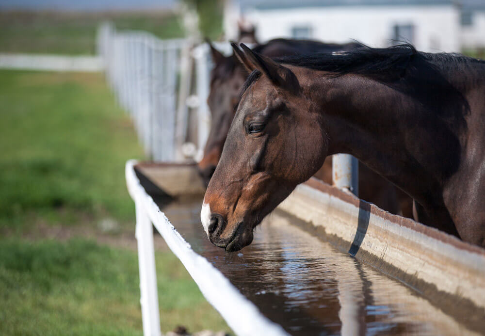 horse is drinking water