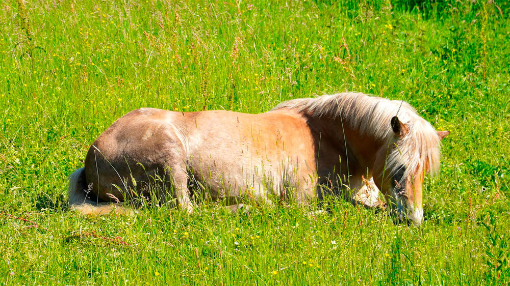 horse is resting in grass