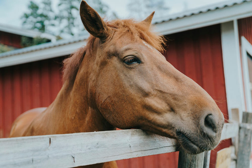 horse is resting on fence