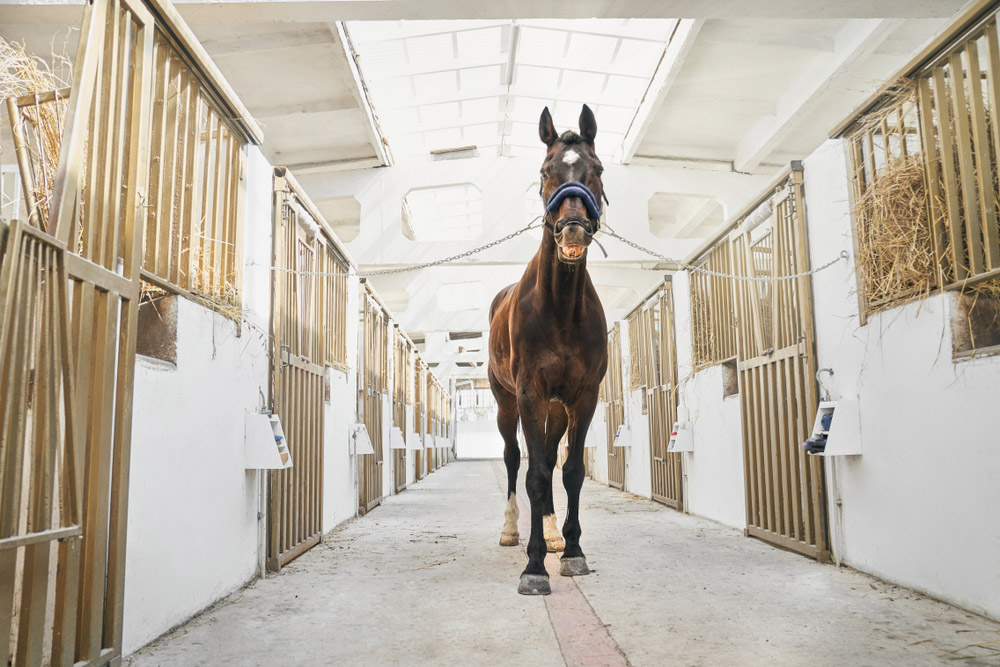 horse is standing in stable tied to chains