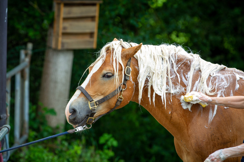 horse is taking a shower with shampoo