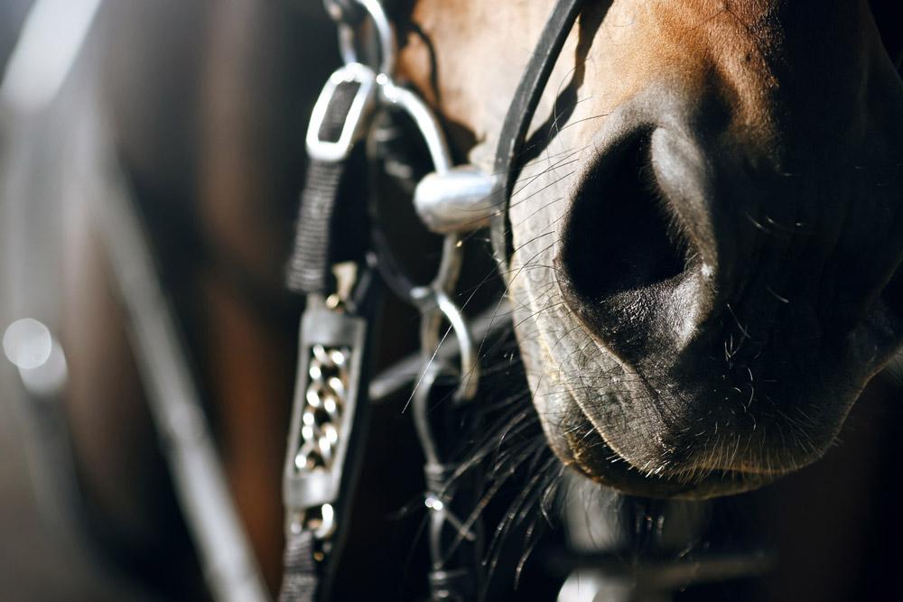 horse nostrils close up