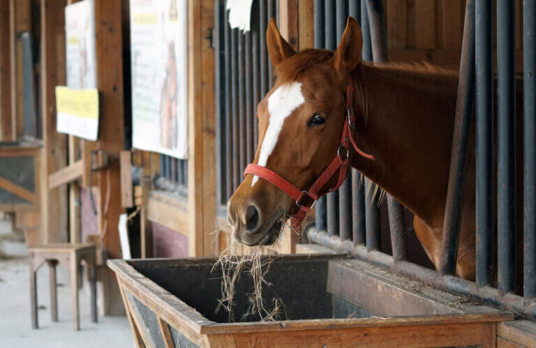 horse protruding head from the stall to graze