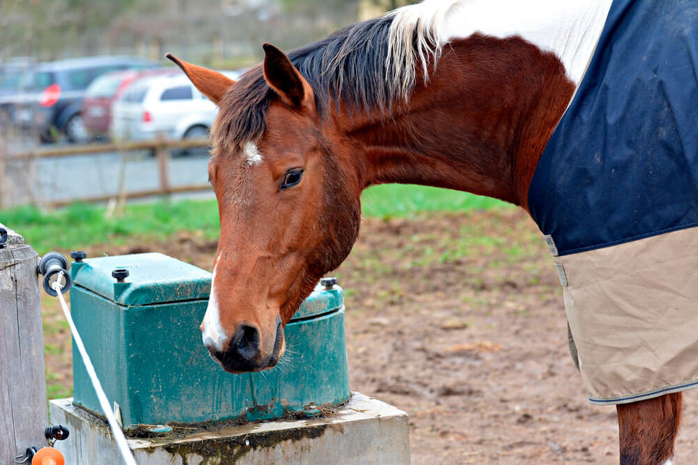 horse with blanket is drinking from waterer
