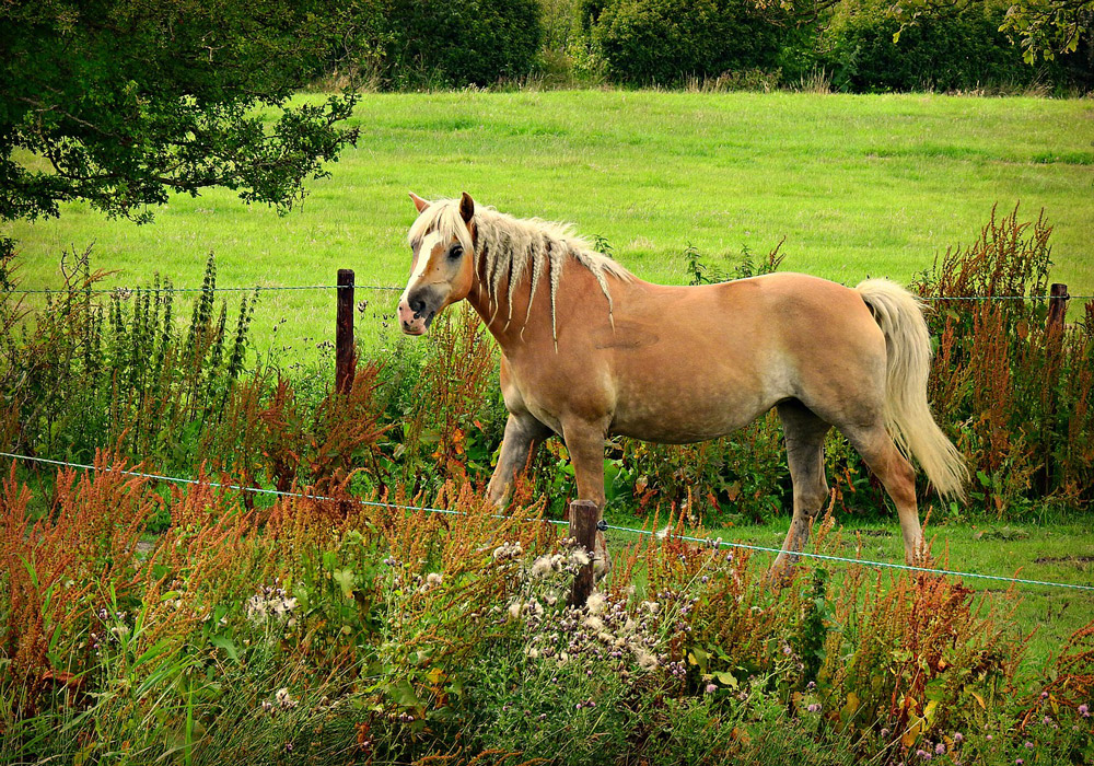 horse with braids grazing on pasture