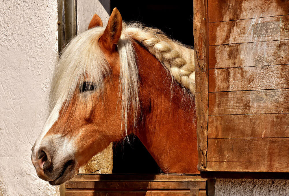 horse with fancy hairstyle