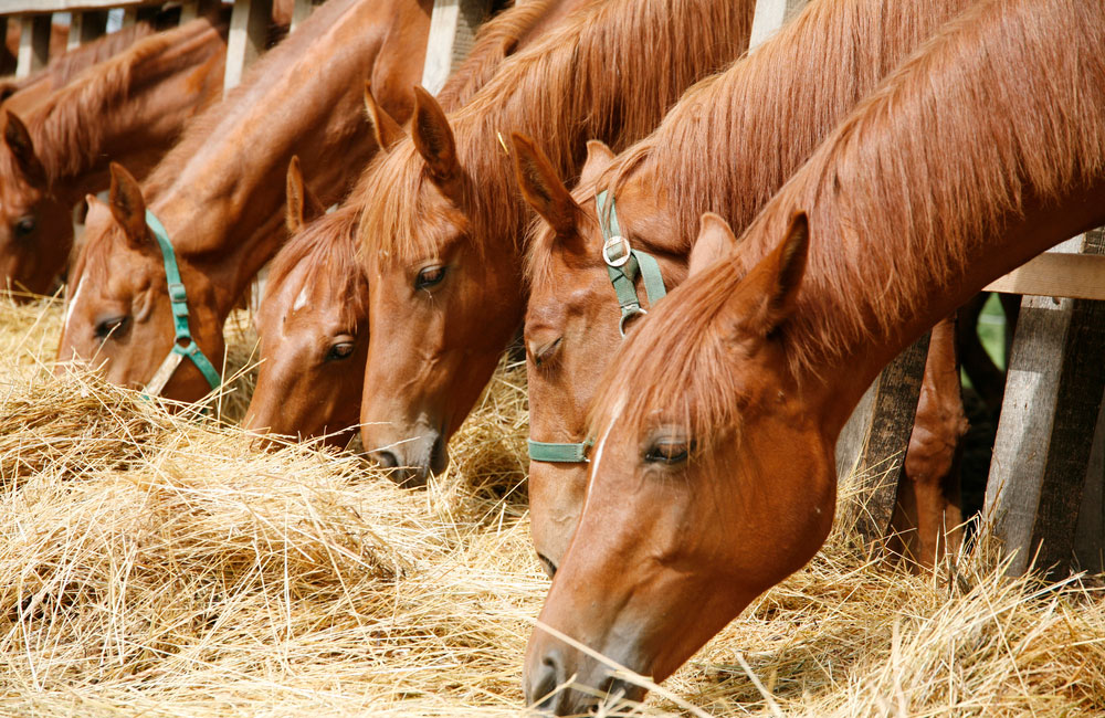 horses are grazing hay through fence