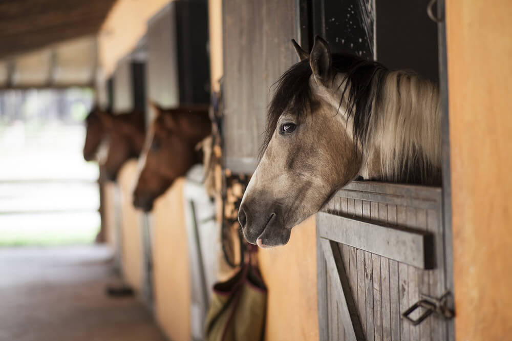 horses are lined up in a barn