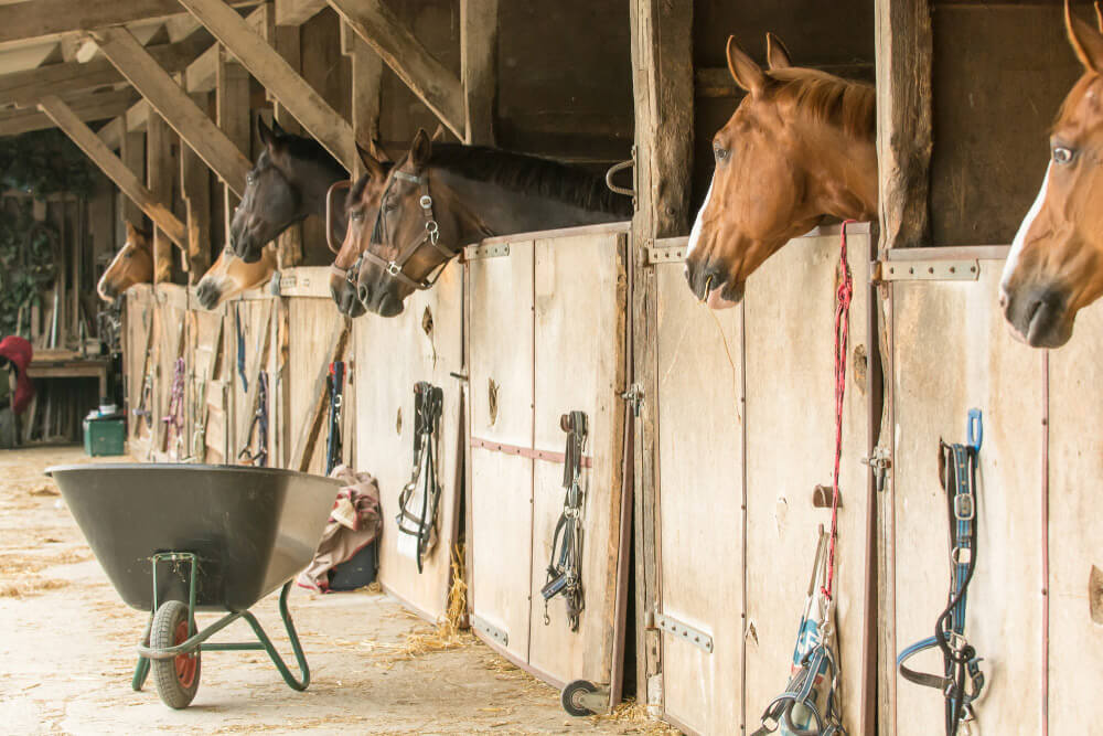 horses are locked in the stalls