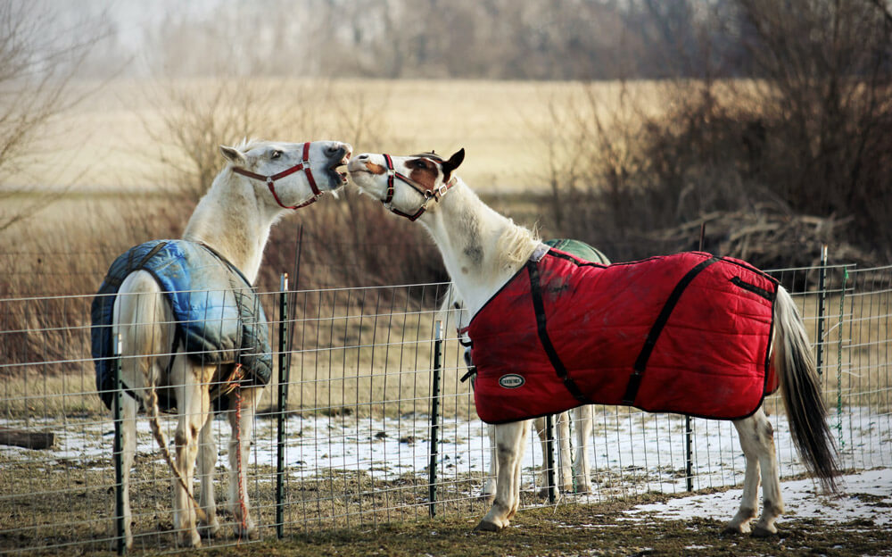 horses in blue and red blankets
