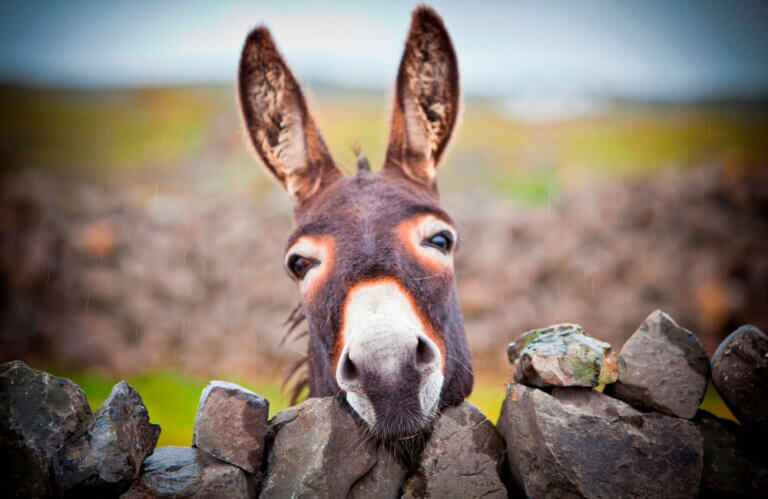 irish donkey in the rain